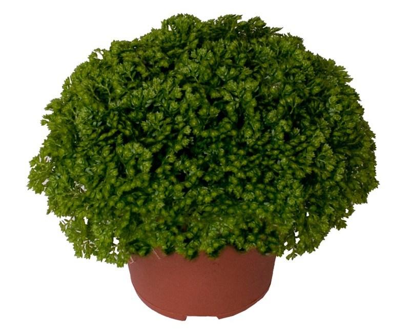 Цветок селагинелла