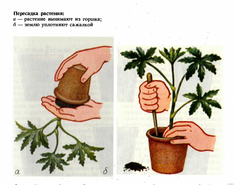 Как пересадить цветок в другой горшок с