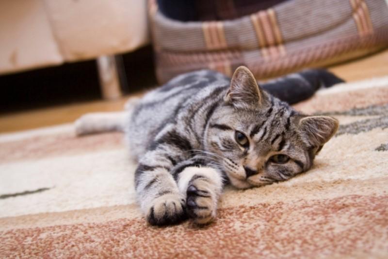 Шерсть домашних животных на ковре