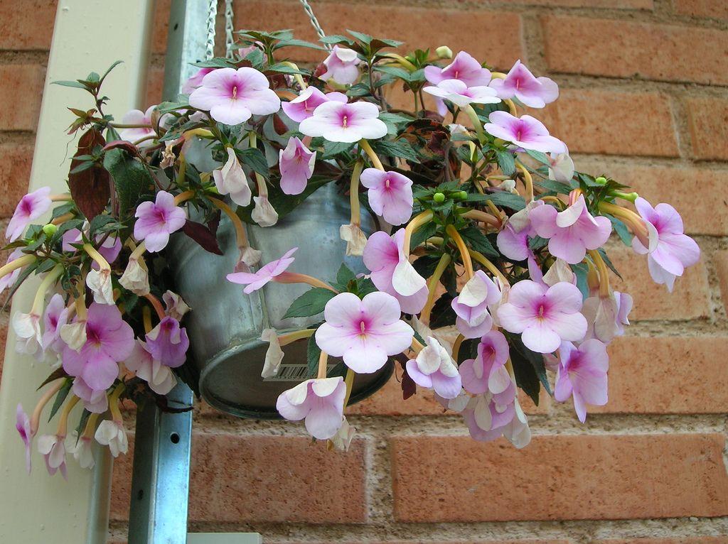 Цветы ахименесов