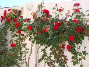 pletistaia-roza