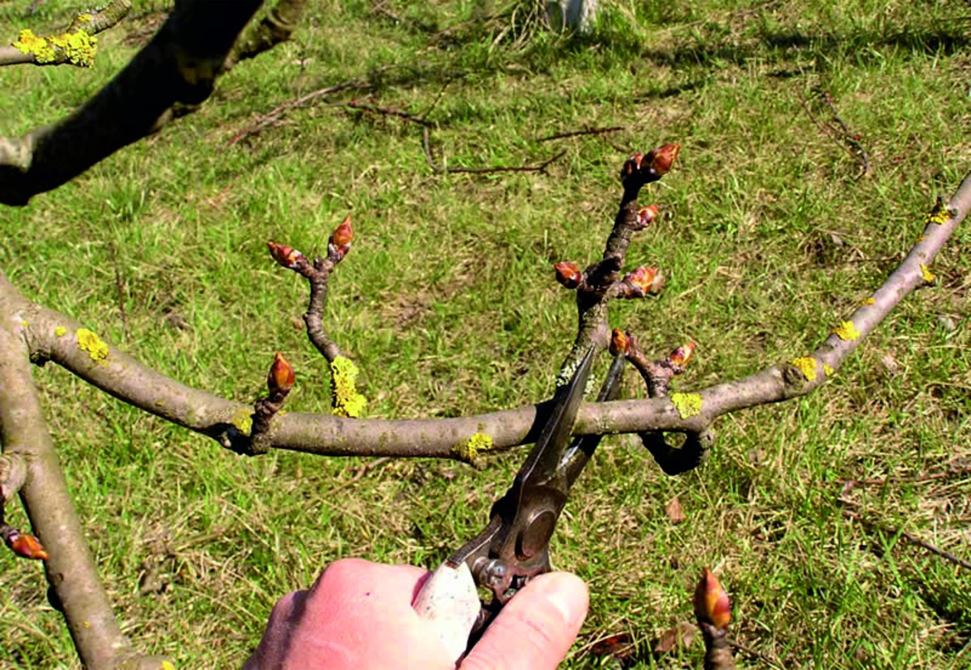 Обрезка колоновидных груш осенью схема