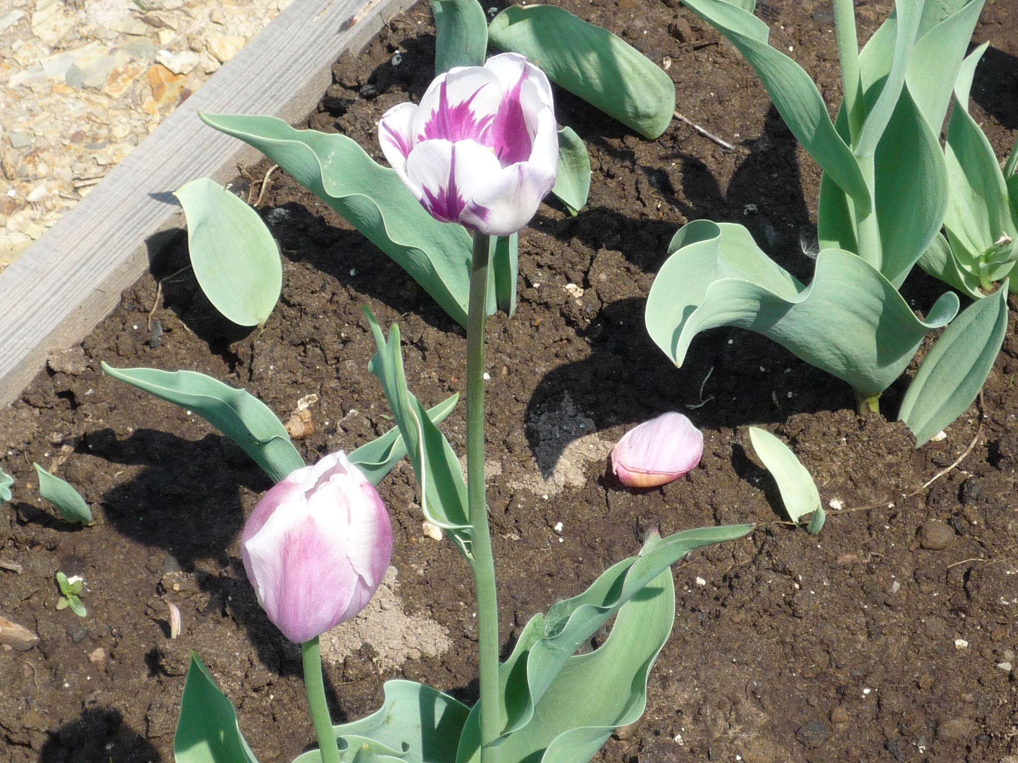 Цветение посаженных тюльпанов