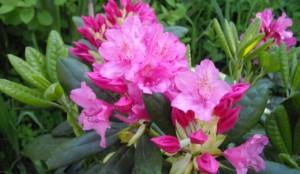 s.rhododendrone1-e1468053444549