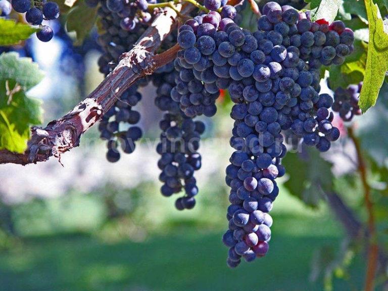 Описание некоторых из существующих сортов винограда для выращивания и виноделия