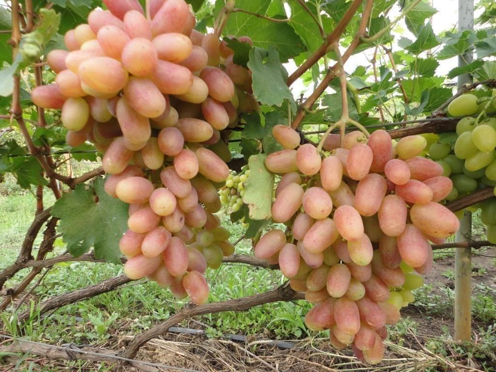 Описание и советы по выращиванию виноградного сорта Преображение
