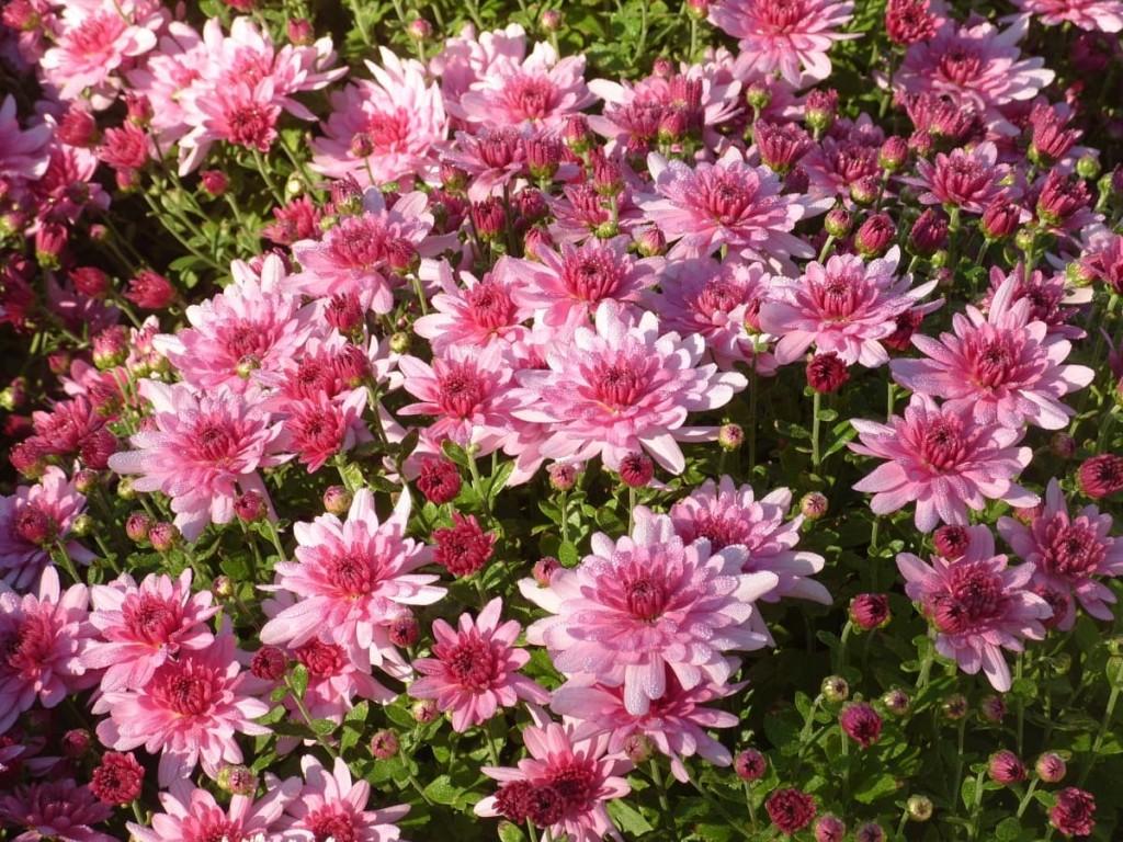Особенности ухода и посадки за многолетней садовой хризантемой