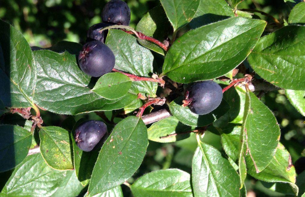 черноплодный
