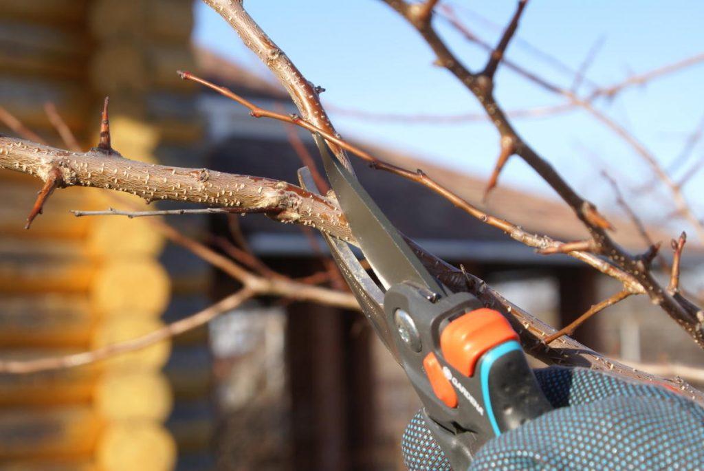 Методы и время обрезки груши